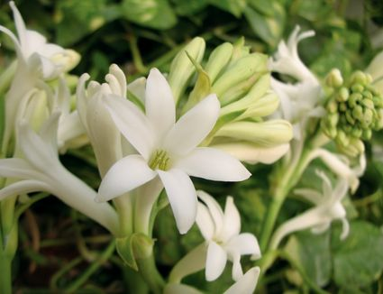 The best fragrant flowers to grow in your garden how to grow fragrant tuberose flowers from bulbs mightylinksfo