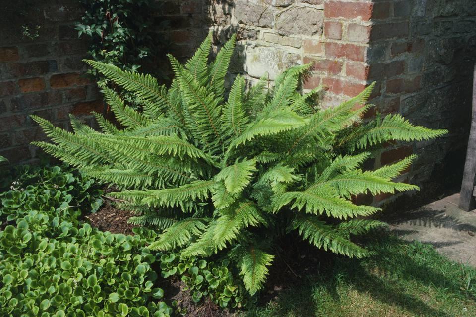 Polystichum setiferum 'Divisilobum Group' (Soft shield fern), evergreen fern against a wall