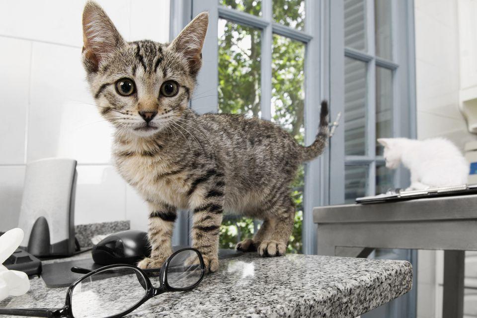 Cat in a veterinary hospital
