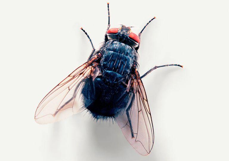 House fly.