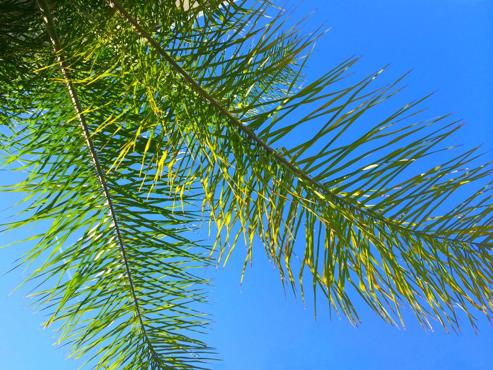 Branches of the Queen Palm against a blue sky, Jacksonville, Florida,