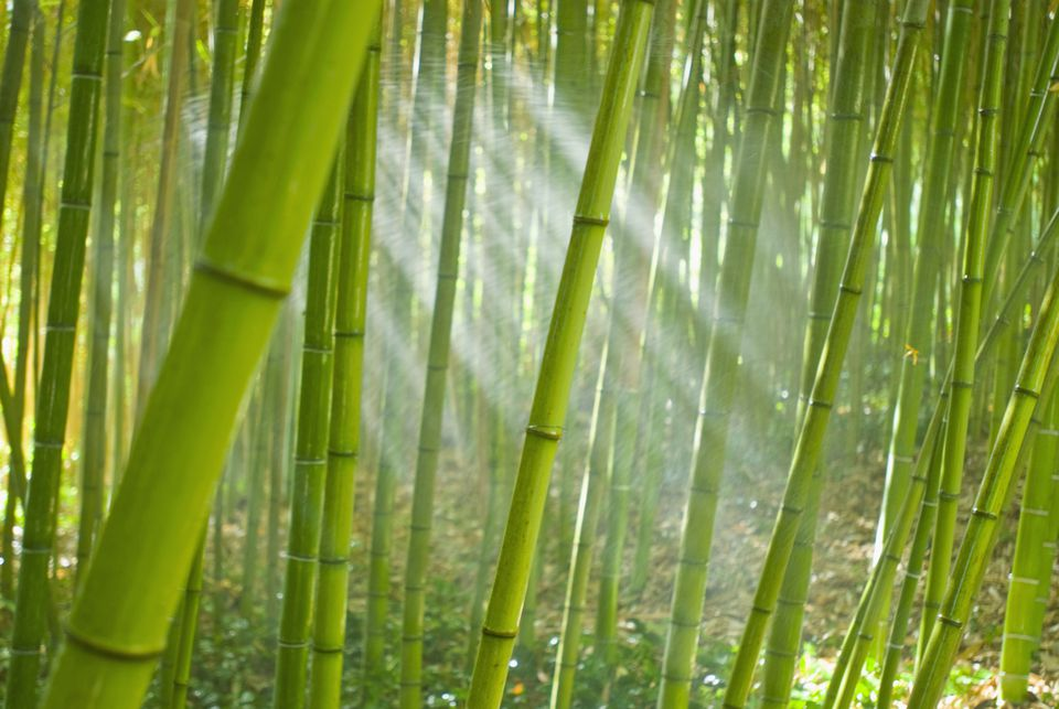 Canes of bamboo plants growing in a grove.