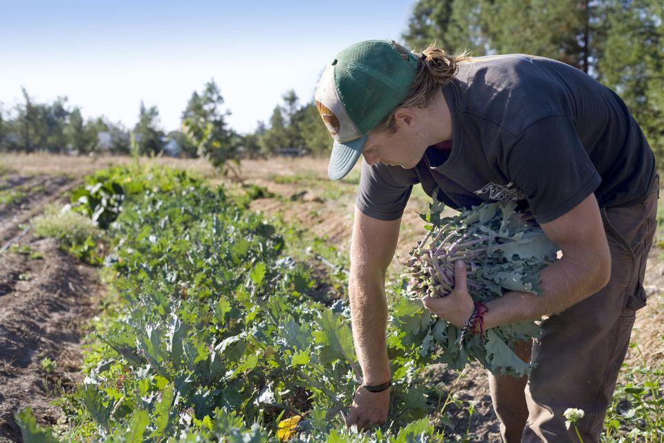 Man harvesting kale
