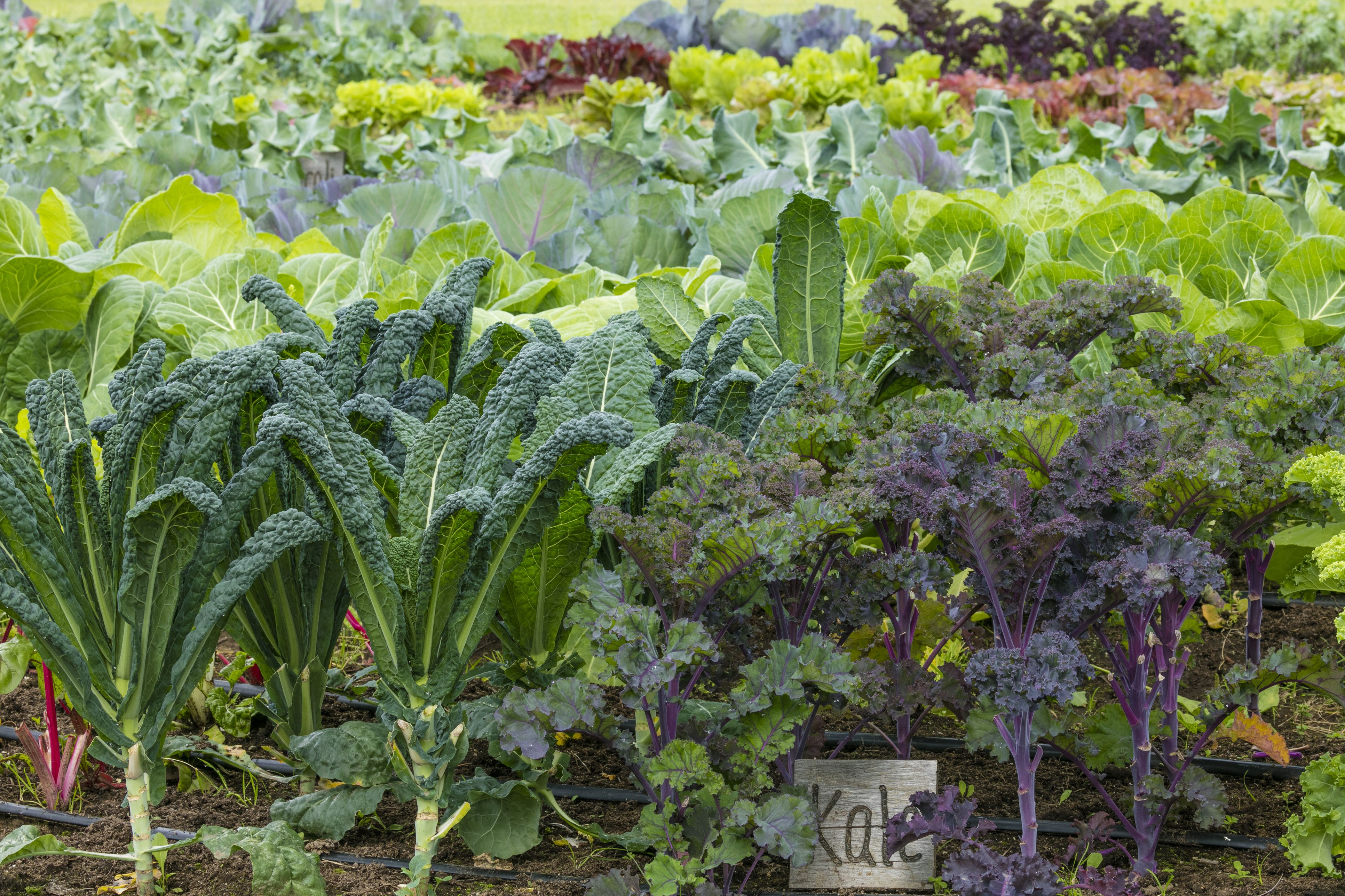 How to grow kale in the home vegetable garden for Planting a garden