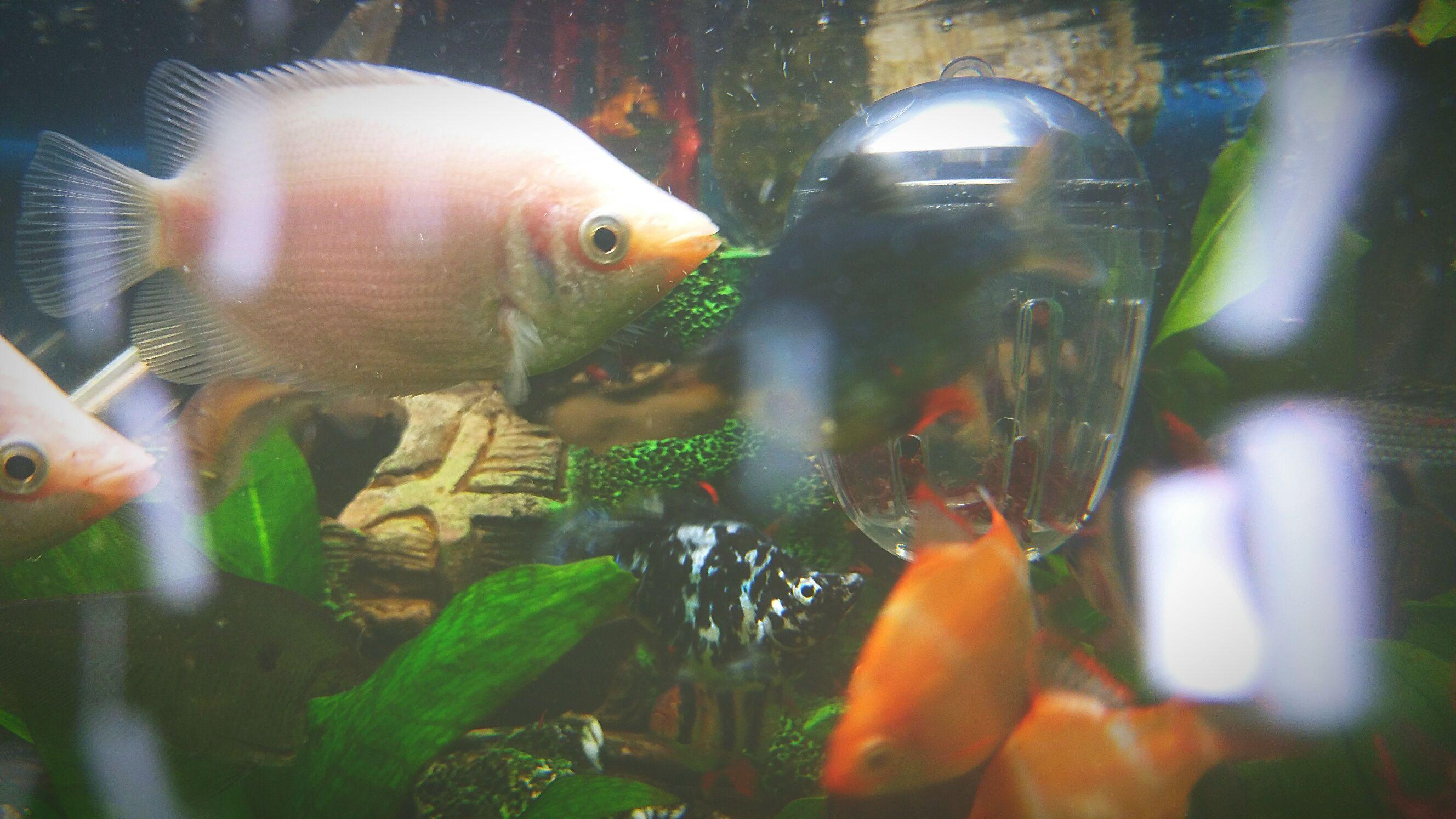Treating Ammonia Poisoning in Aquarium Fish