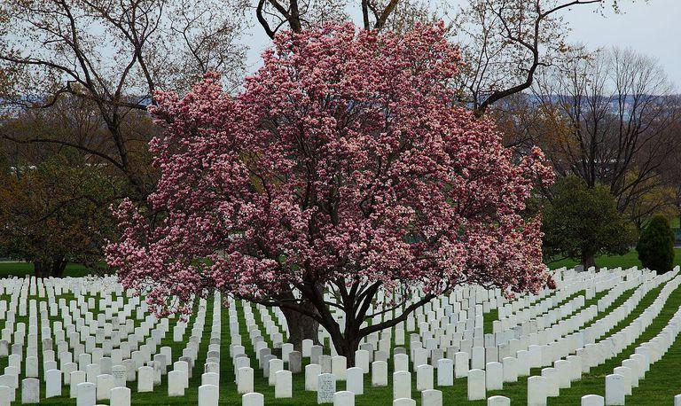 flowering magnolia tree at the arlington cemetery