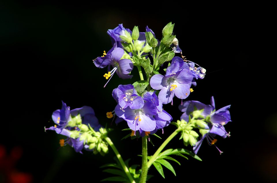 Image of Jacob's ladder. The plant name derives from Genesis 12-19.