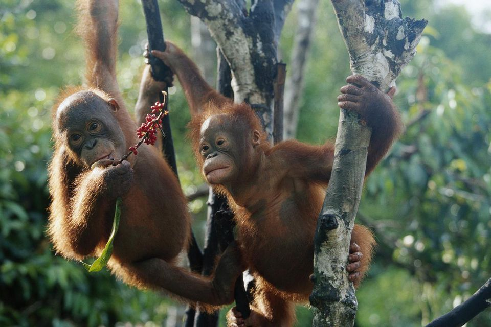 Two Young Orangutans