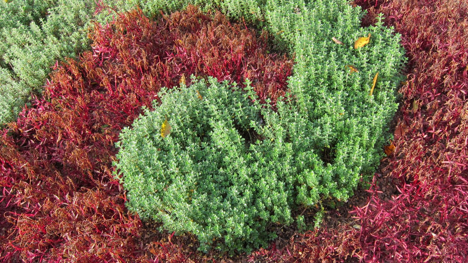 What S Wall Germander How Is It Used In Landscaping