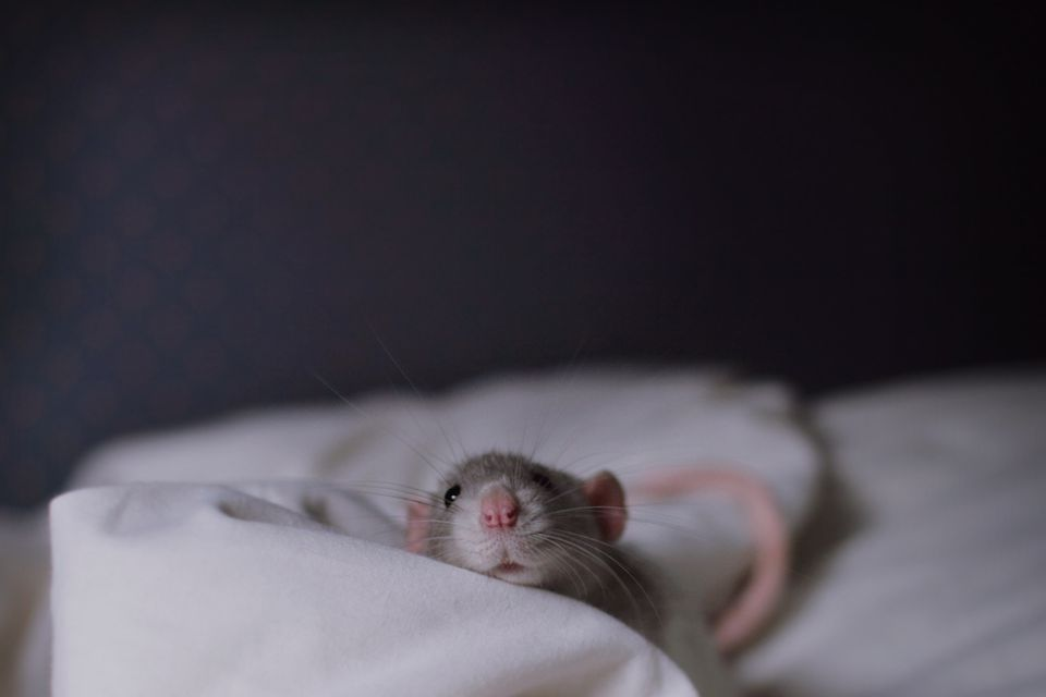 Grey rat peeking out from duvet on bed