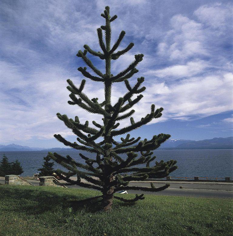 Argentina, Patagonia, Nahuel Huapi National Park, Lake Nahuel Huapi in San Carlos de Bariloche, Araucaria, Araucariaceae. Monkey-puzzle tree (Araucaria araucana)