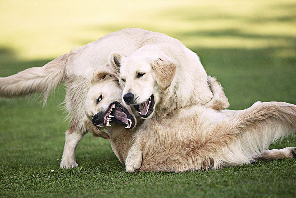 Golden retrievers playing