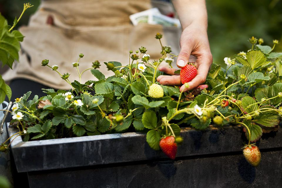 hand of young woman picking ripe organic strawberries
