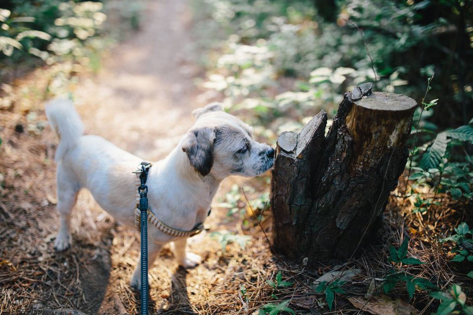 dog sniffing and exploring on walk
