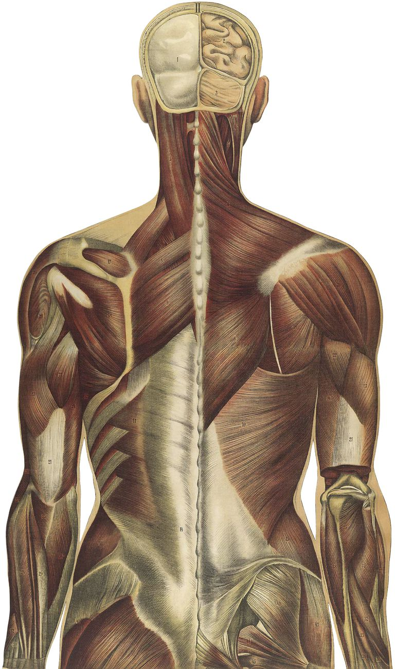 Back depiction including muscles and thoracolumbar fascia