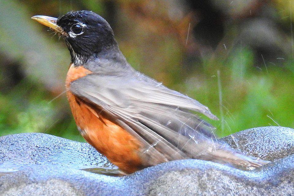 American Robin in Bird Bath