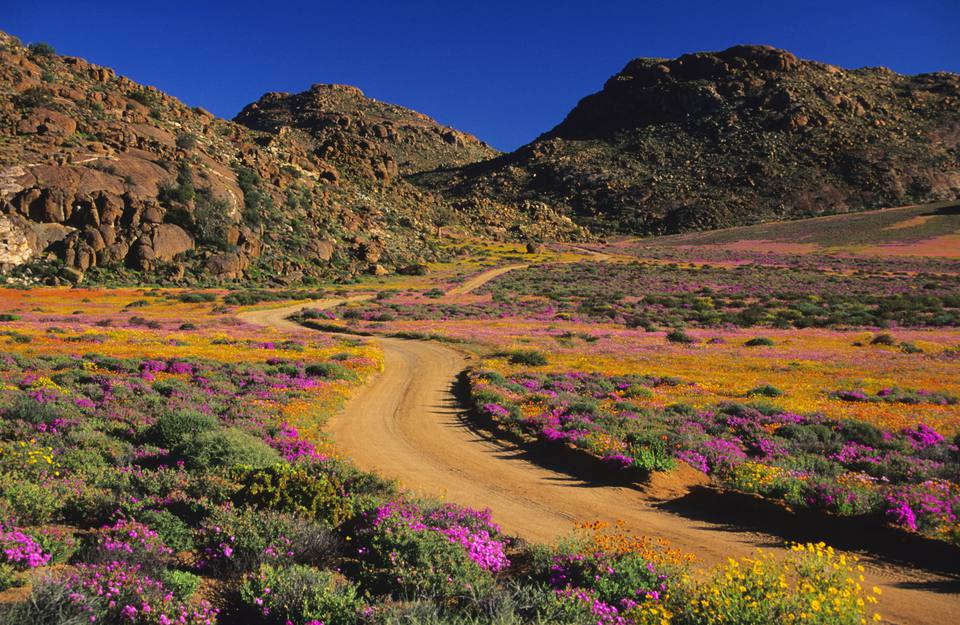 A path through the wildflowers in Goegap Nature Reserve, Namaqualand