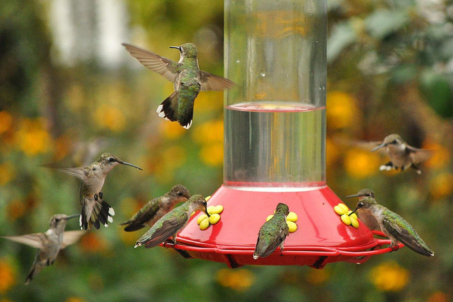 Classic hummingbird nectar recipe get more hummingbirds to your feeders with these tips forumfinder Gallery