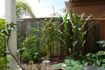 How to Grow Corn in Your Garden