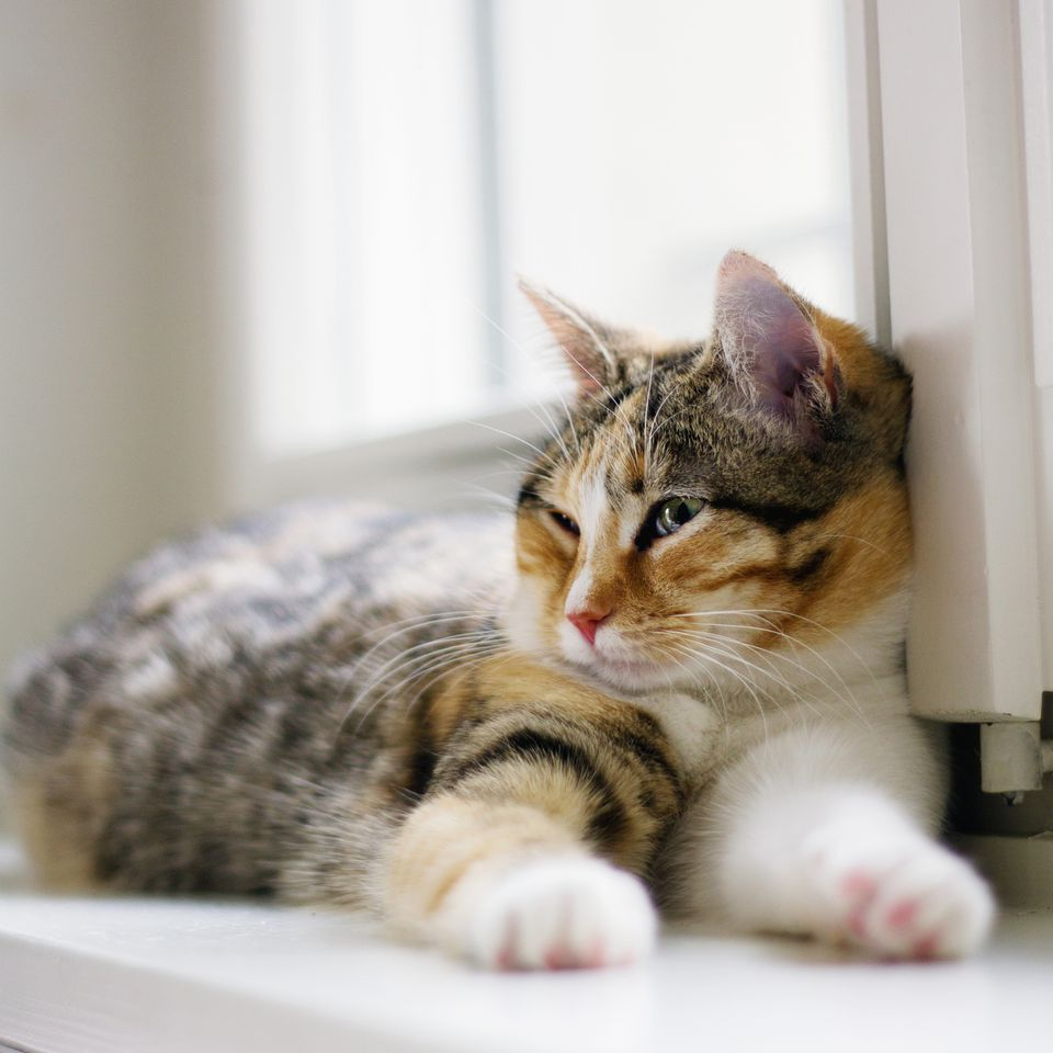 Calico cat on a window sill