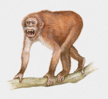 propliopithecus aegyptopithecus