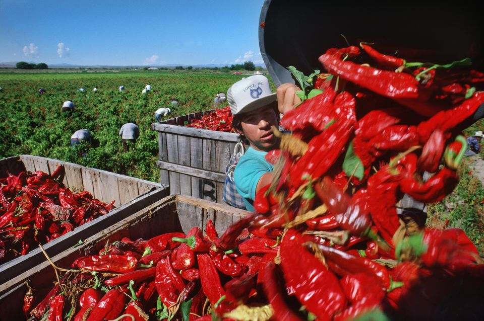 Harvesting Red Anaheim Peppers