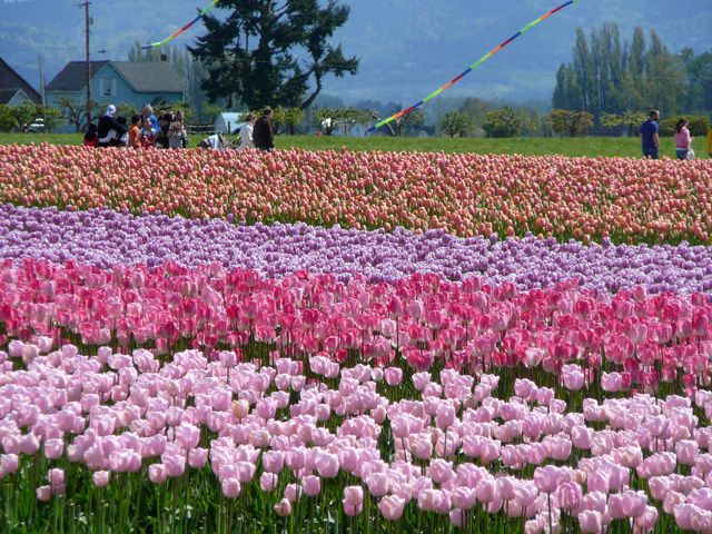 Rows of Pink and Lavender Tulips at the Skagit Valley Tulip Festival