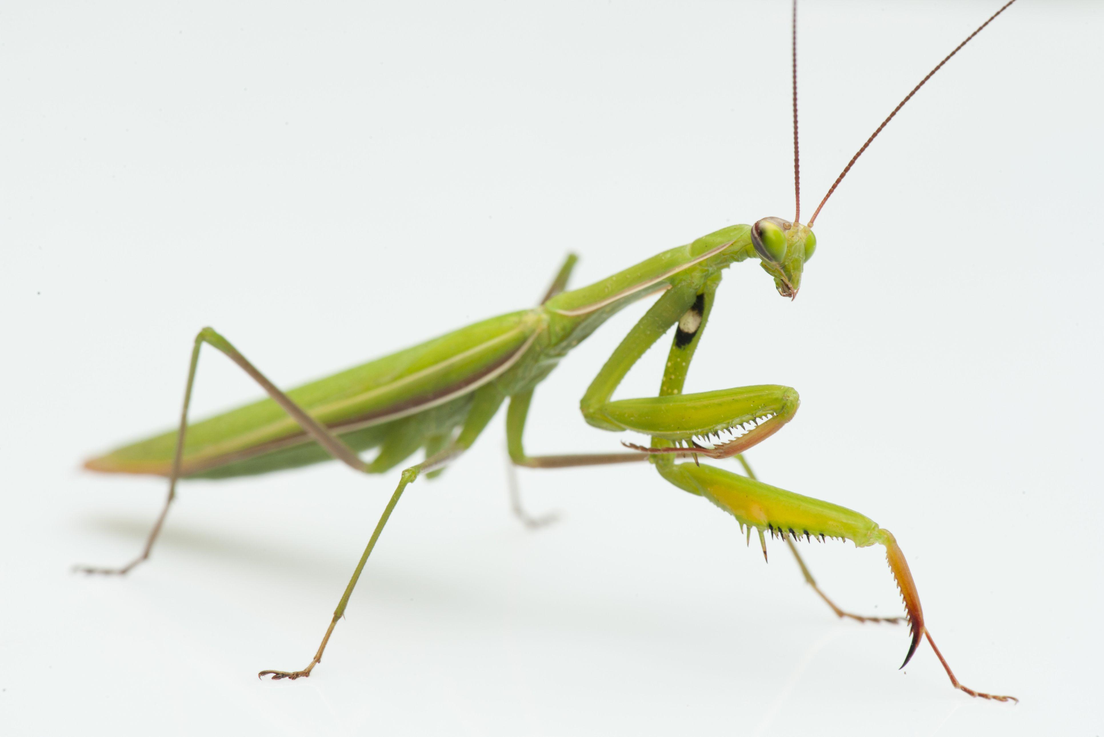 Image result for Praying Mantis