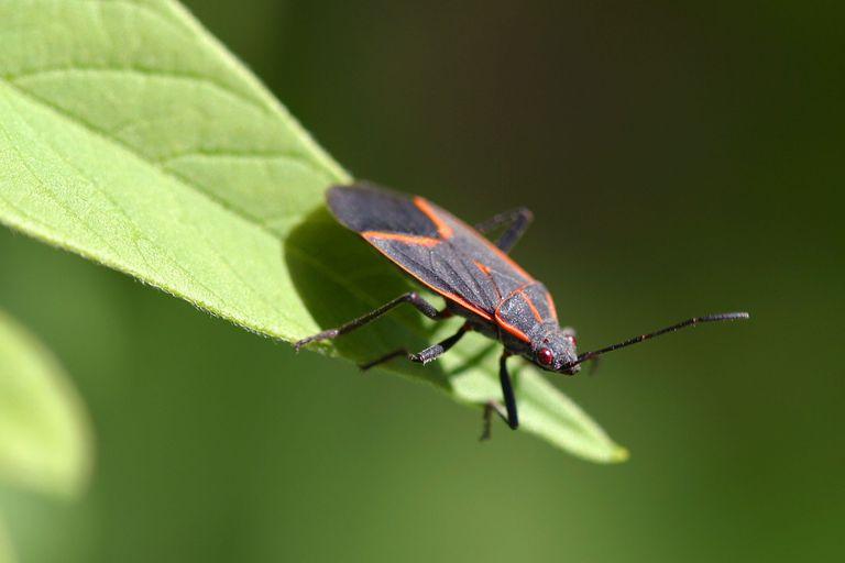 A maple bug (Boisea trivittata) in Pittsburgh, Pennsylvania, 2007.