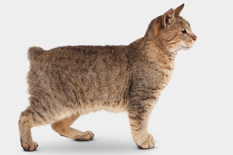 Pixie bob cat breed