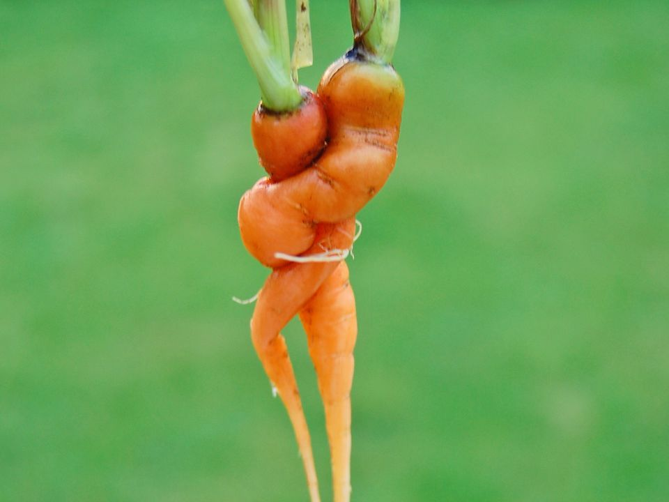 Twisted Deformed Carrots