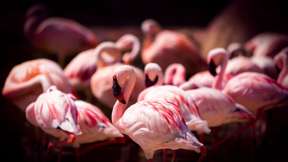 Flamingos in Memphis, Tennessee