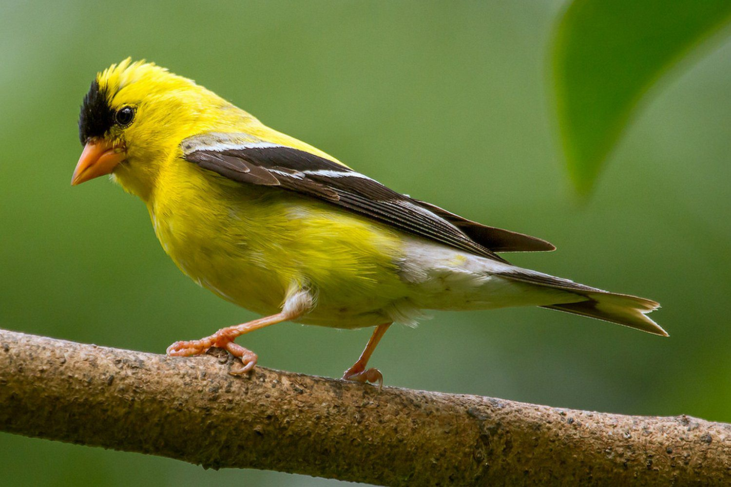 Backyard Guest House American Goldfinch Carduelis Tristis
