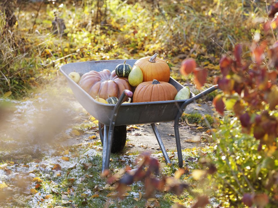 Pumpkins in wheel barrow in garden, Varmdo, Uppland, Sweden