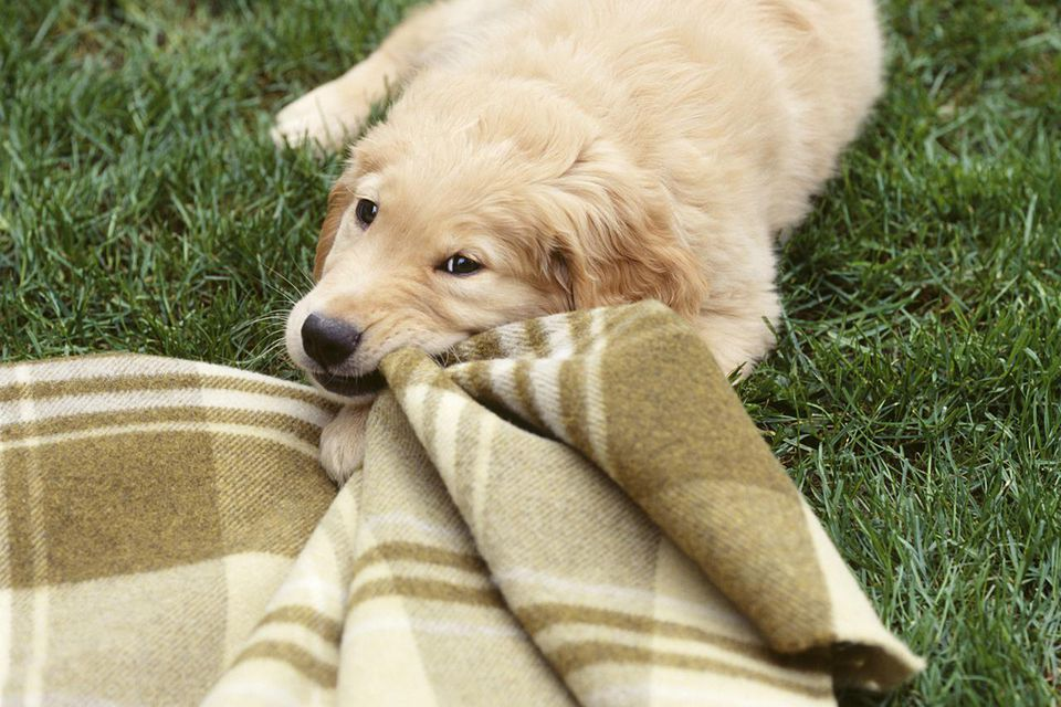 Golden retriever puppy pulling blanket