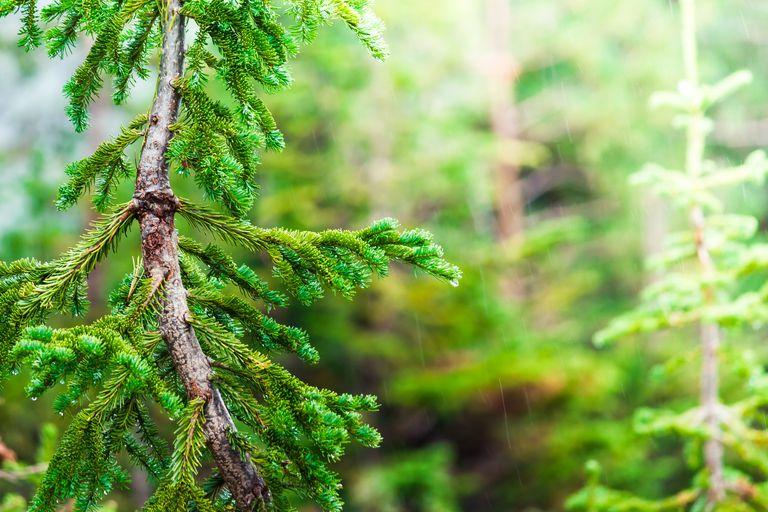 Joven pino