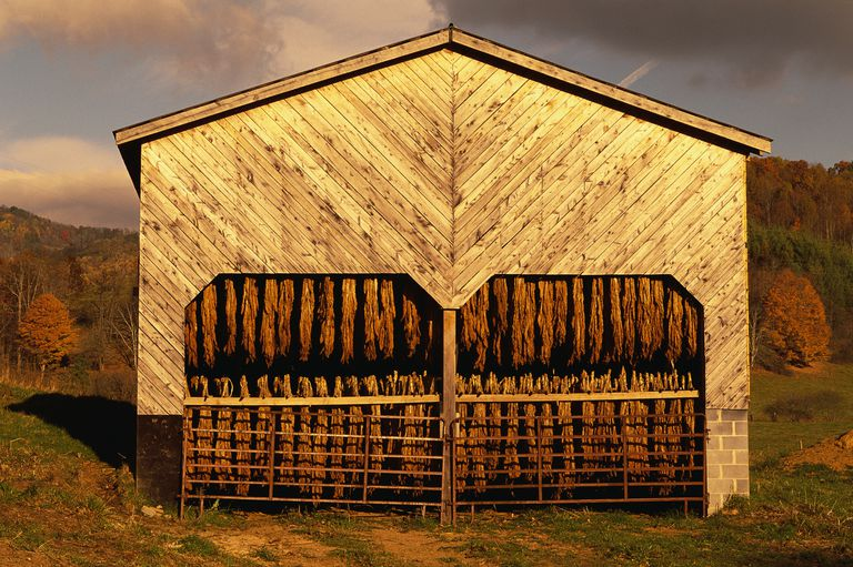 Tobacco Leaves Curing in Shed