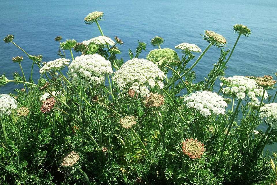 Angelica, angelica sylvestris, dorset, uk