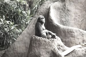 Gorilla sitting on tree stump