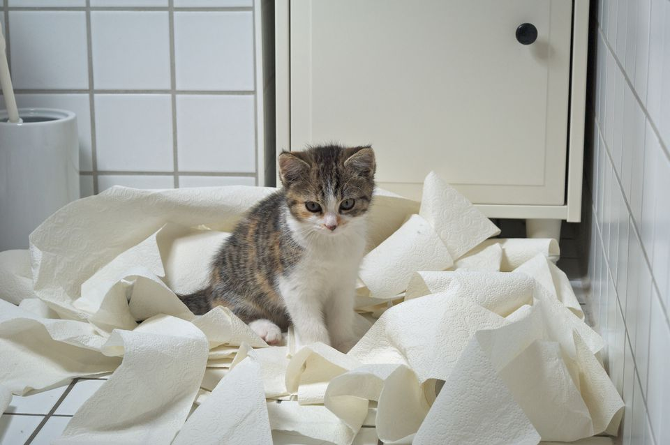 Kitten and Toilet Paper