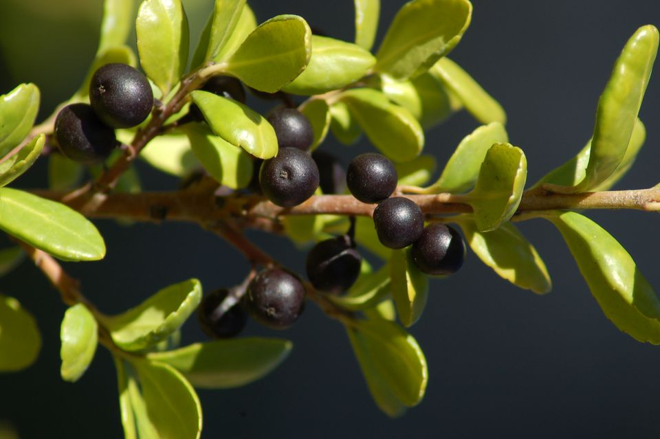 Japanese holly (Hetzii) with concave leaves and black berries.