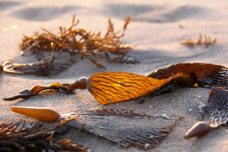 Seaweed, Brown Algae, Kelp, Giant Kelp, Phaeophyceae on the beach in Northern California, USA