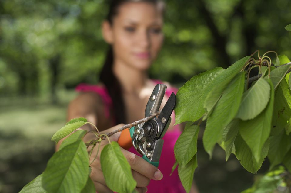 Young woman pruning tree