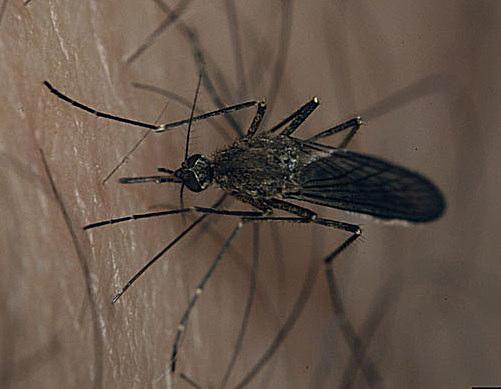 Mosquitos en el rompido