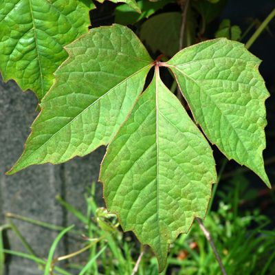 """The """"leaflets 3"""" rhyme is not perfect, as Boston Ivy demonstrates."""