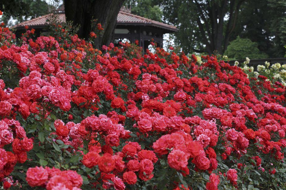 Red floribunda roses (Rosa) 'Impatient', June