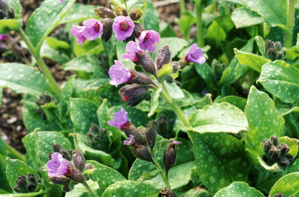 Lungwort (Pulmonaria) 'Mrs. Moon'