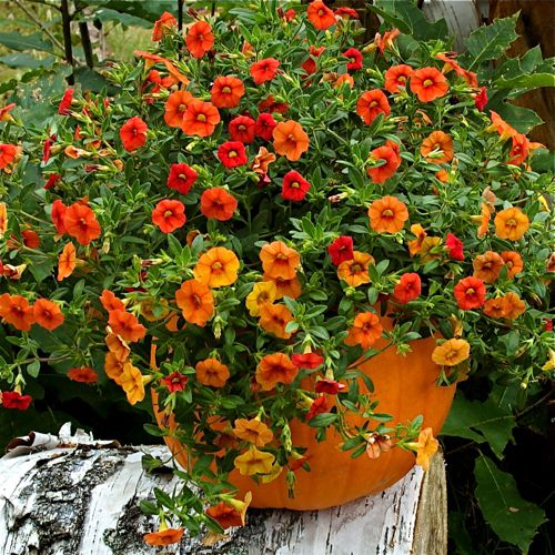 container gardening picture of fall decorations - pumpkin planter with million bells