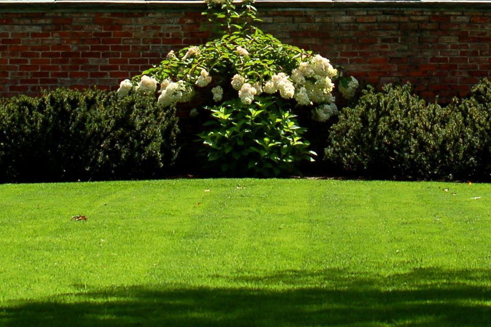 Nice grass (image) is beautiful but a lot of work. The hydrangea backdrop adds to the scene.