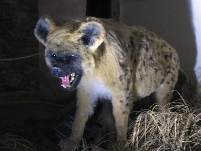 cave hyena crocuta spelaea